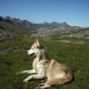 nicht ein Wolf, mein Hund Chinook